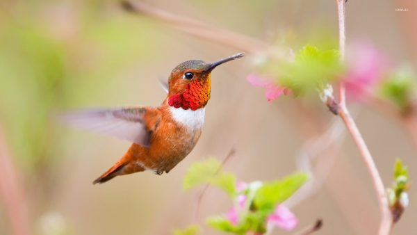 hummingbird wallpaper HD7