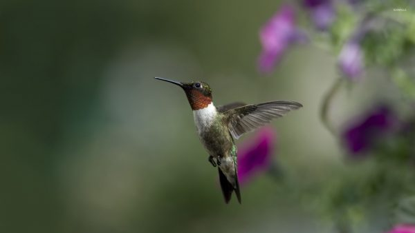 hummingbird wallpaper HD8