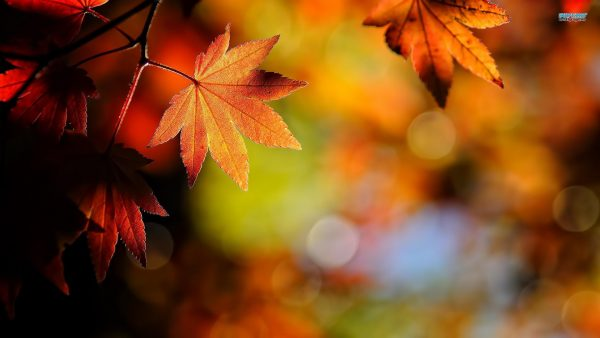 leaves wallpaper HD5