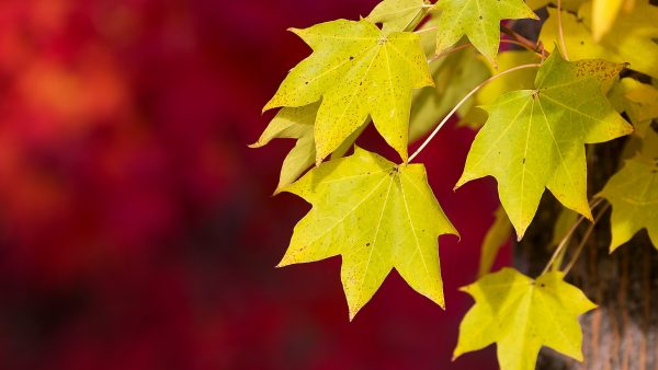 leaves-wallpaper-HD6-600x338