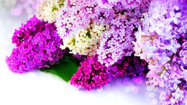 lilac wallpaper HD1