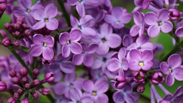 lilac wallpaper HD2