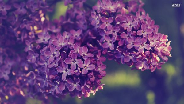 lilac wallpaper HD3
