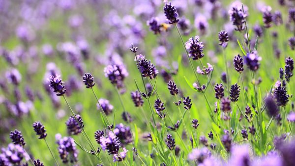 lilac wallpaper HD5