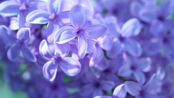 lilac wallpaper HD6