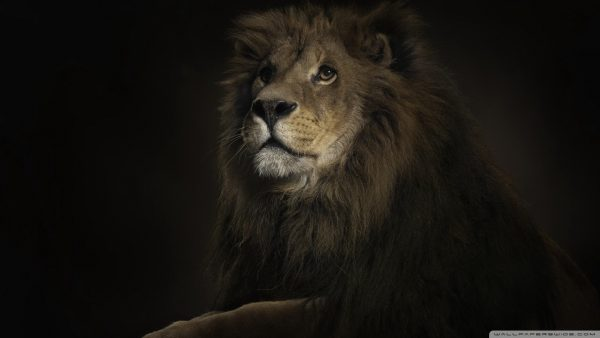 lion hd wallpaper HD10