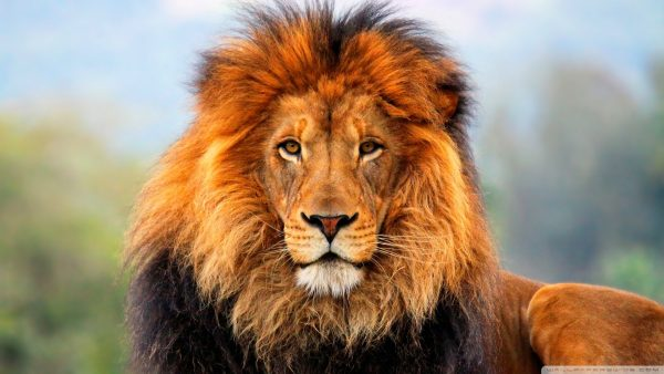 lion hd wallpaper HD5