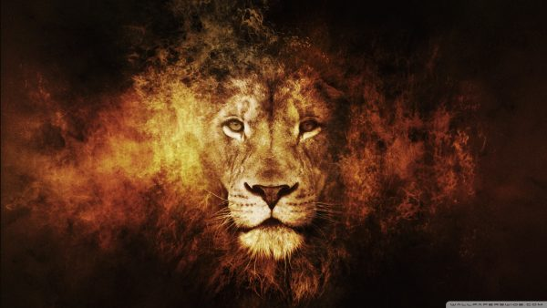 lion hd wallpaper HD9