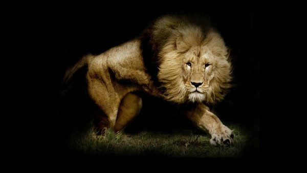 lion wallpapers HD1