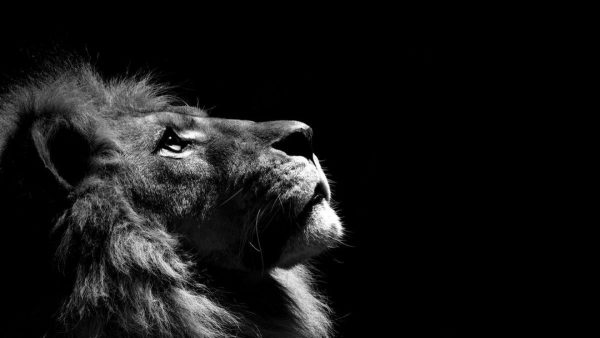 lion wallpapers HD4