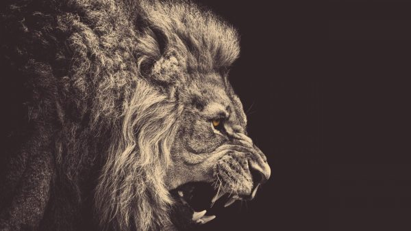 lion wallpapers HD7