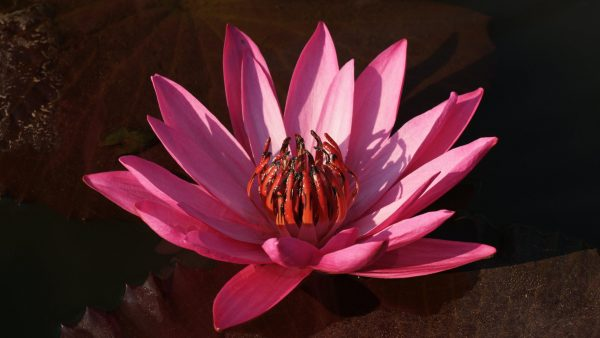 lotus-wallpaper-HD1-600x338