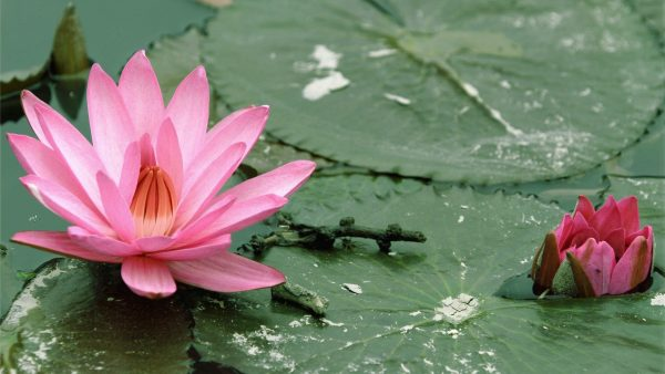lotus wallpaper HD2
