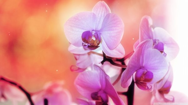orchid wallpaper HD10