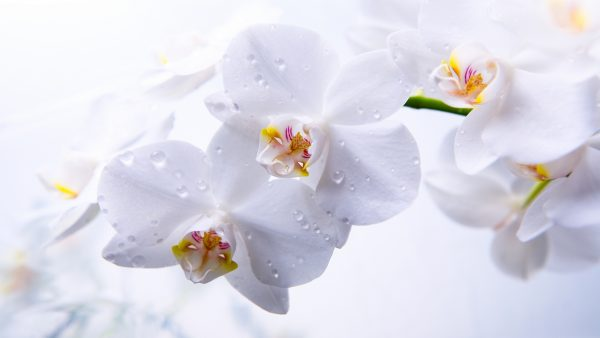 orchid wallpaper HD2