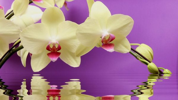 orchid wallpaper HD3
