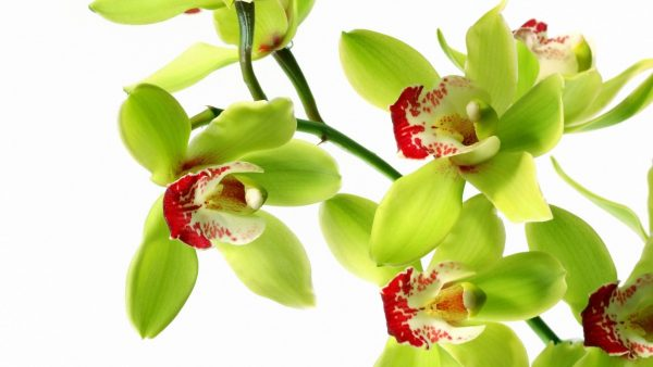 orchid wallpaper HD4