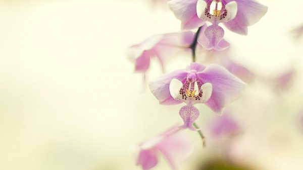 orchid wallpaper HD5