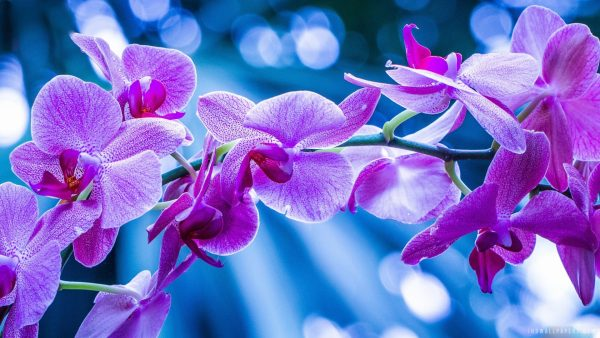 orchid wallpaper HD6