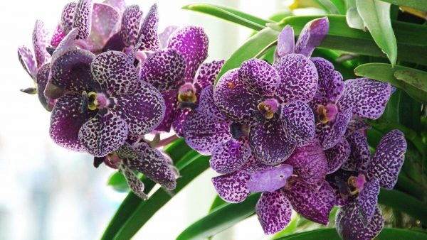 orchid-wallpaper-HD7-600x338