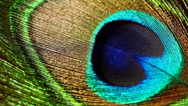 peacock feather wallpaper HD2