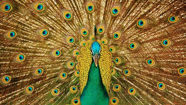 peacock feather wallpaper HD4