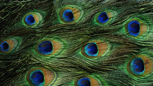 peacock-feather-wallpaper-HD5-600x338