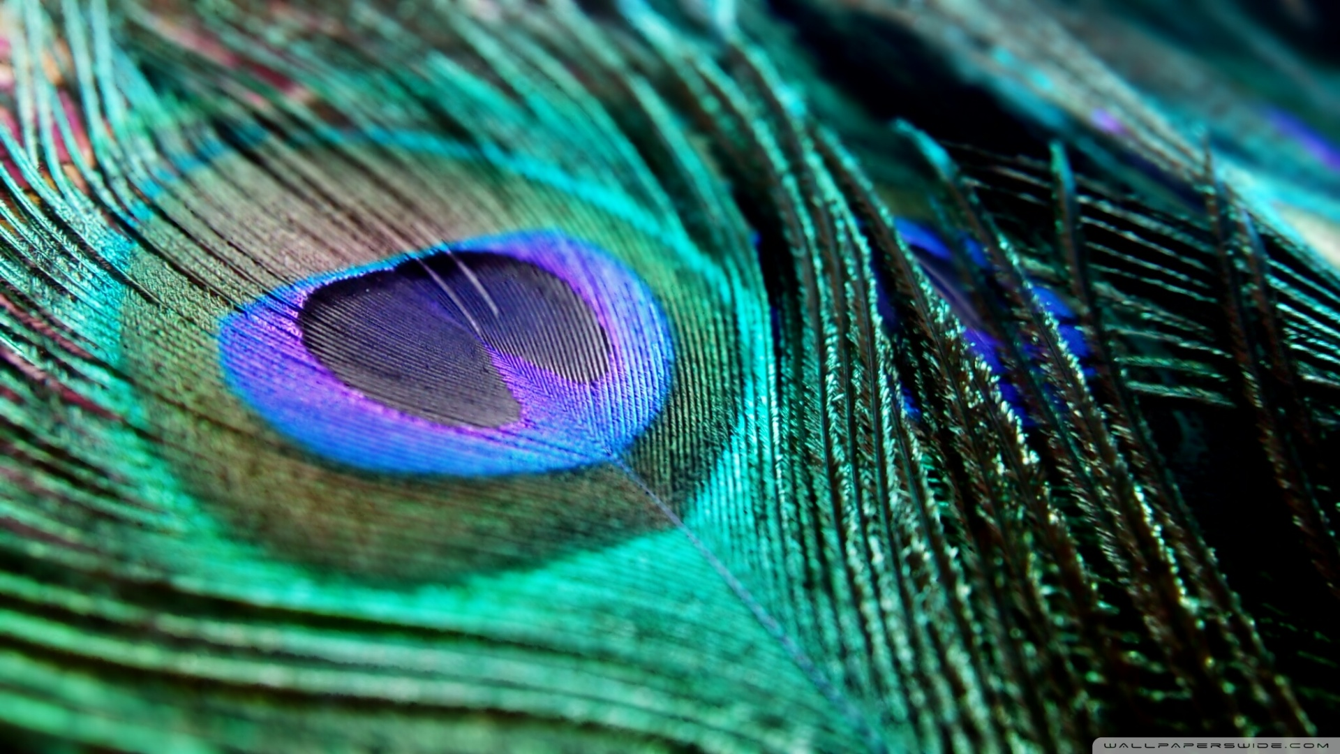 peacock feather wallpaper for desktop