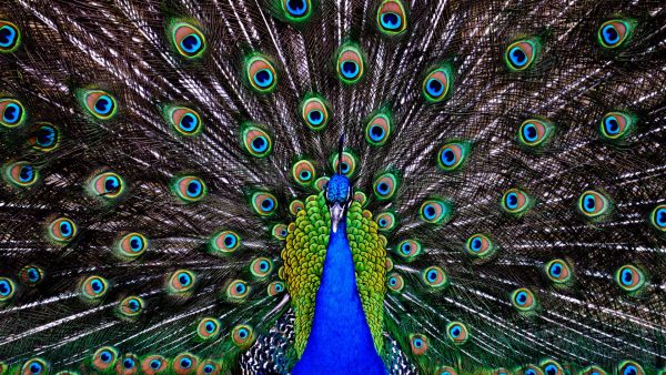 peacock-feather-wallpaper-HD7-600x338