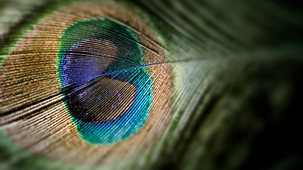 peacock-feather-wallpaper-HD9-600x338