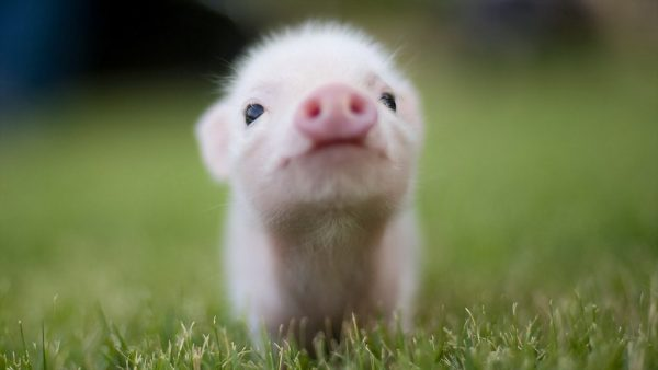 pig wallpaper HD3