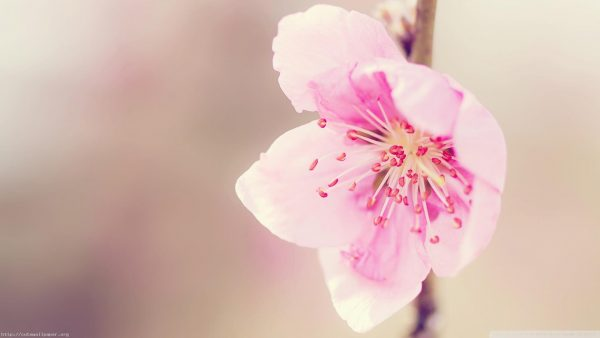 pink-floral-wallpaper-HD1-600x338