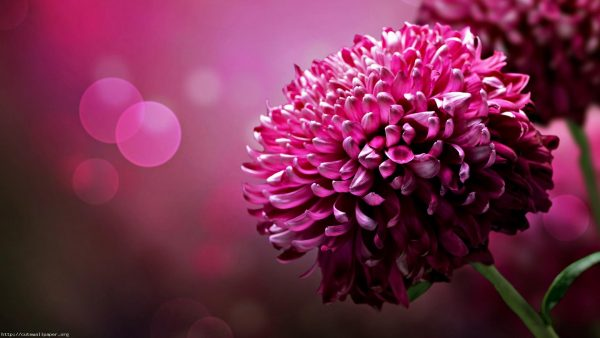 pink floral wallpaper HD2