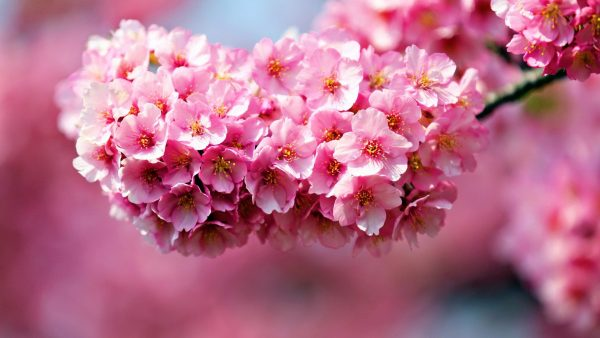 pink-floral-wallpaper-HD7-600x338