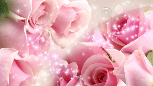 pink roses wallpaper HD6