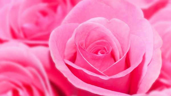 * Pink Roses * HD Desktop Background