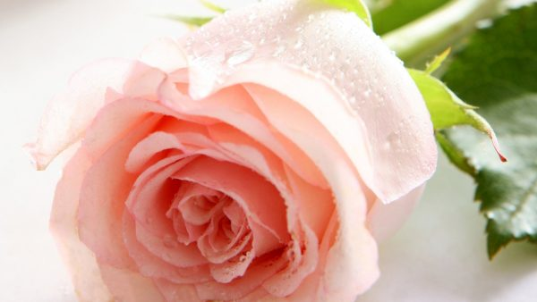 pink roses wallpaper HD8