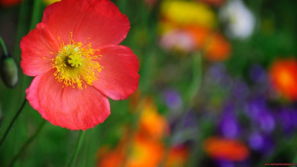poppy-wallpaper-HD5-1-600x338