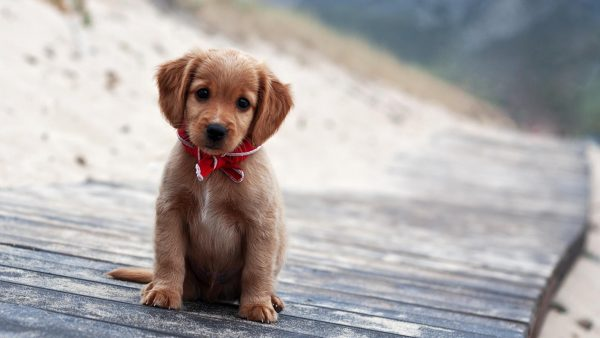 puppies wallpaper HD2