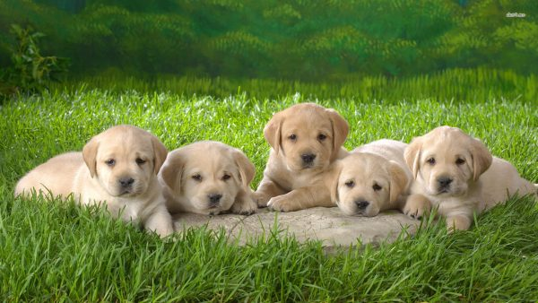 puppies wallpaper HD4
