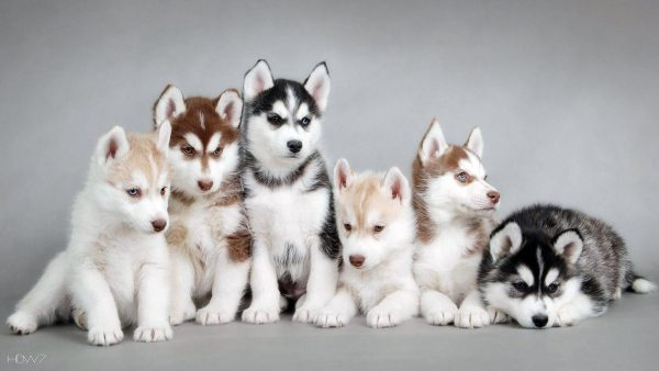 puppies wallpaper HD5
