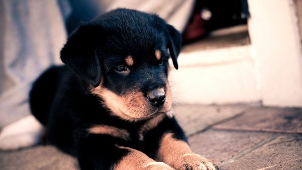 puppies wallpaper HD6