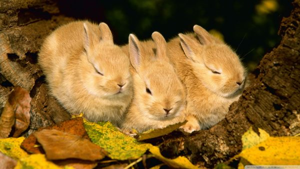 rabbit-wallpaper-HD1-600x338
