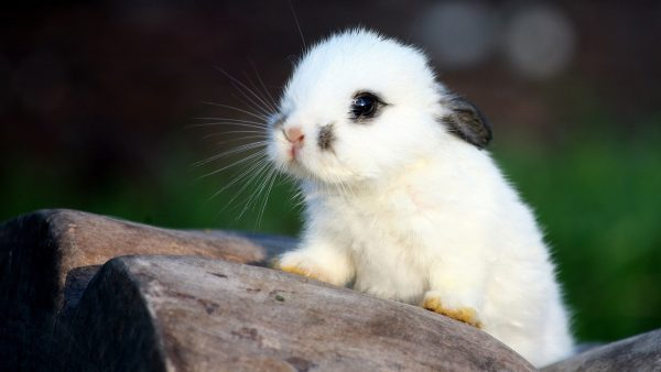 rabbit-wallpaper-HD2-600x338