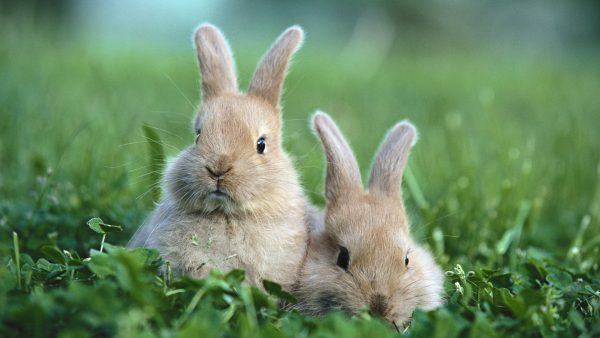 rabbit-wallpaper-HD3-600x338