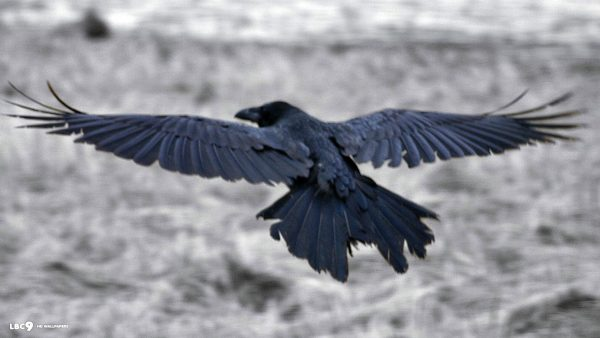 raven-wallpaper-HD6-600x338