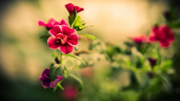 red-flower-wallpaper-HD1-600x338