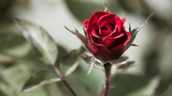 red-flower-wallpaper-HD7-600x338