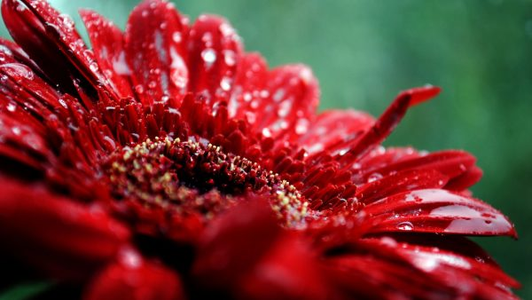 red flower wallpaper HD8