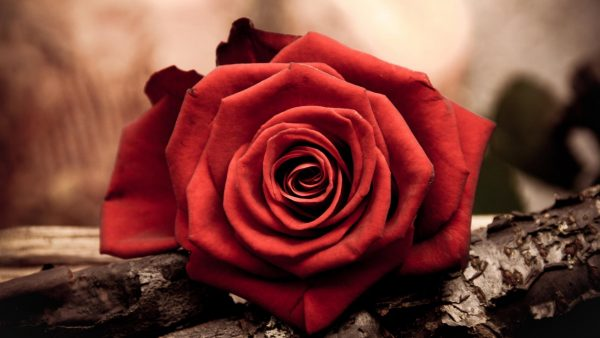 red-flower-wallpaper-HD9-600x338
